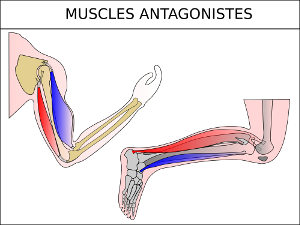 Muscles antagonistes